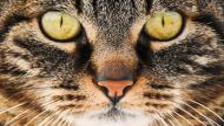 Die Katze. Unser wildes Haustier